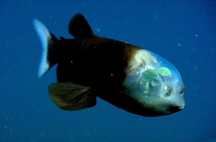 Рыба с прозрачной головой. Сквозь нее она и видит. Открыта в 1939 году, а изучена только в 2009-м, так как обитает на большой глубине. Смотреть может исключительно вверх