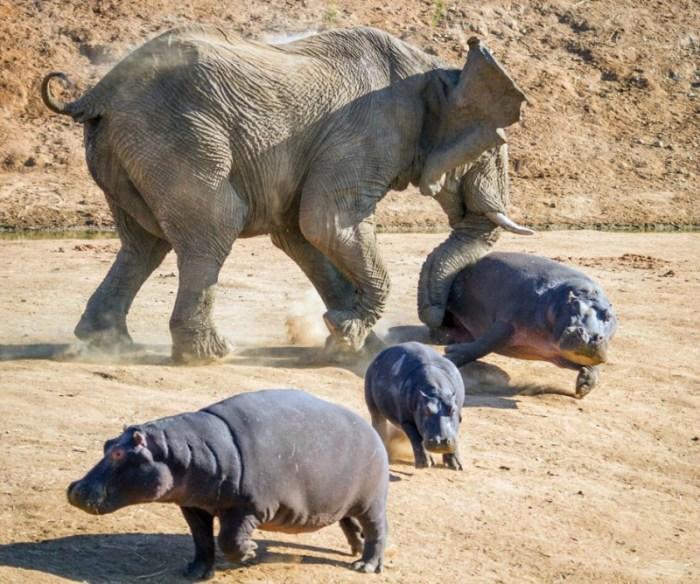 Стычка слона с бегемотами— жесткая защита своего потомства африканскими гигантами