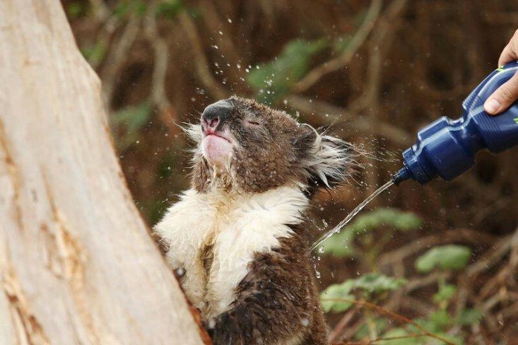 Коалу, страдающую от теплового удара, поливают водой из бутылки в Аделаиде, Австралия. (Morne de Klerk / Getty)
