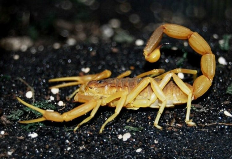 Скорпионы: ядовитые и живучие, опасные и полезные