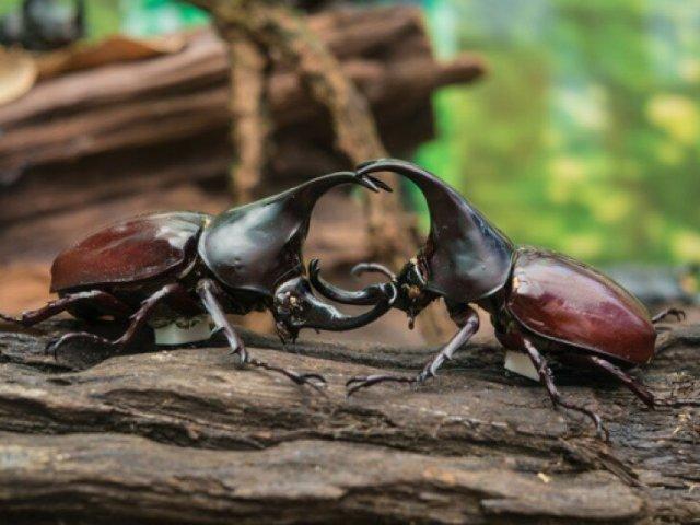 Как ученые описали боевые приемы дупляков, жуков носорогов и их смертоносных рапир