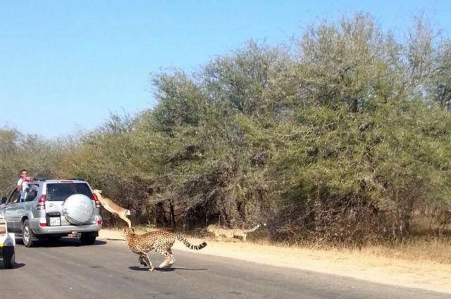 Невероятное спасение импалы в Национальном парке Крюгера, Южная Африка