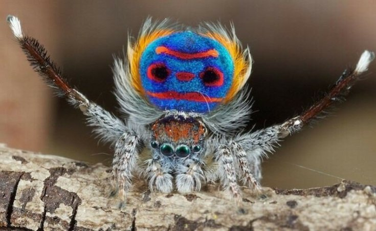 Красивый павлиний паук— самый удивительный в мире!