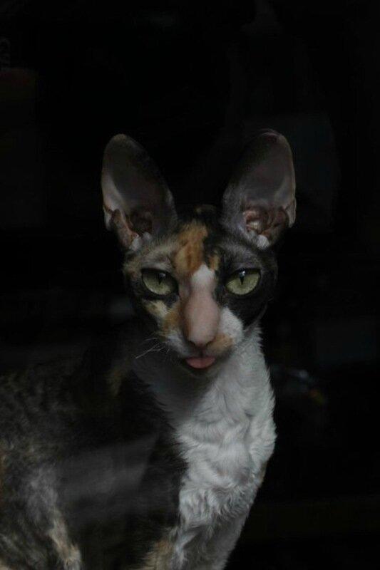Смешные фотографии котов с высунутыми языками