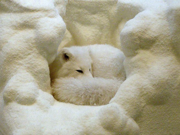 Белый лис в своей снежной пещерке