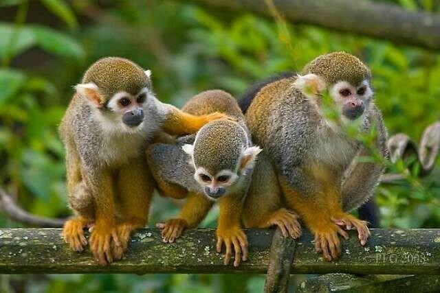 Как бразильские обезьяны обучились по видео обезьян из Австралии