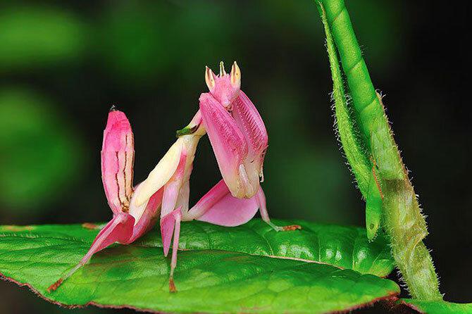 Орхидейный богомол (Hymenopus coronatus)