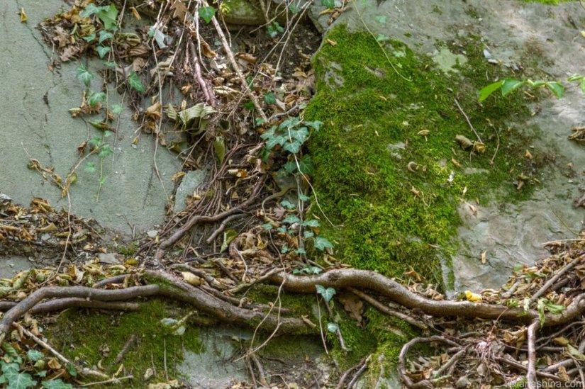 Корни, плющ и мох