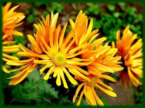Хризантема-4