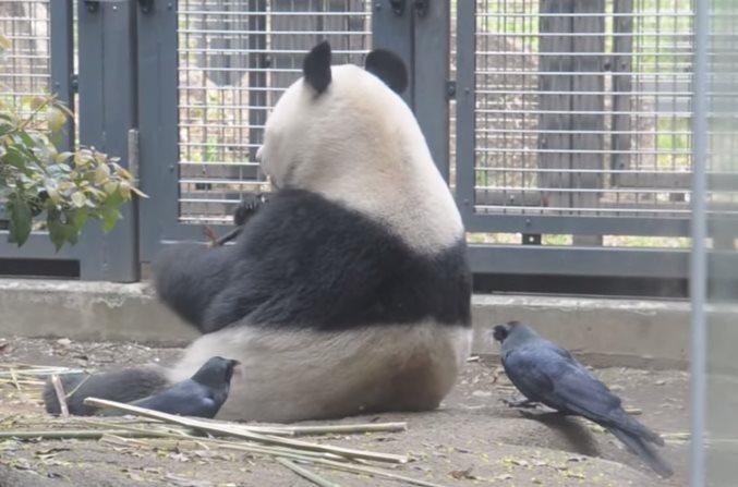 Две вороны напали на панду, чтобы сделать гнездо