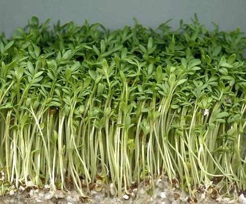 Кресс-салат и его польза