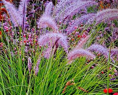 декоративные травы на участке