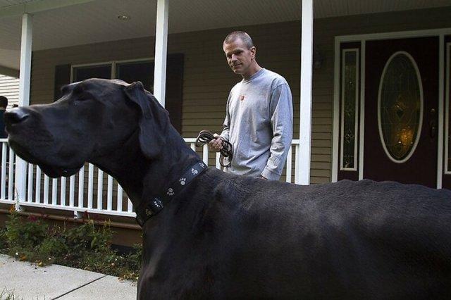 Самые большие собаки в мире: 7 самых крупных пород