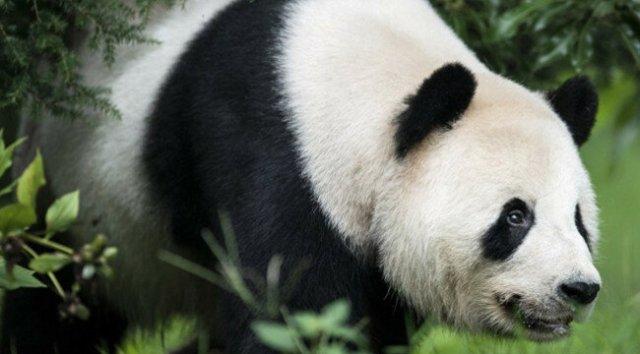 Китайская панда притворялась беременной, чтобы получить больше булочек и фруктов