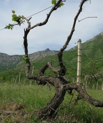 Виноградная лоза - укрытие на зиму