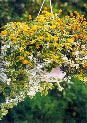 ампельные растения в кашпо