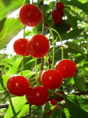 Как правильно посадить вишню и черешню