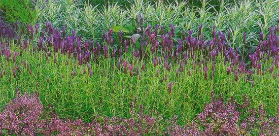 ароматные травы в саду лаванда тимьян