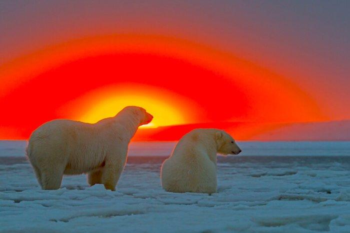 Белые медведи на фоне заката