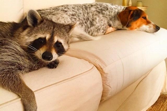 Енотиха думает, что она собака: фотографии взрывают интернет!