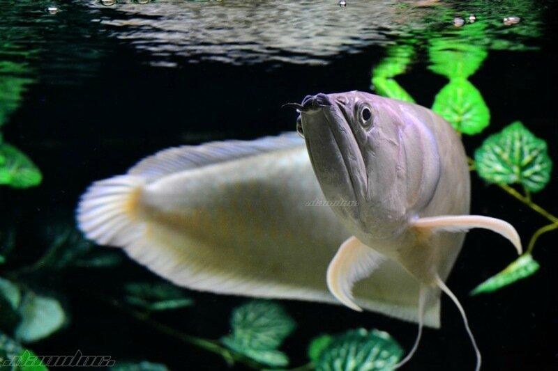 В океанариуме живут карпы Кои, рыба аравана и другие экзотические обитатели подводного мира