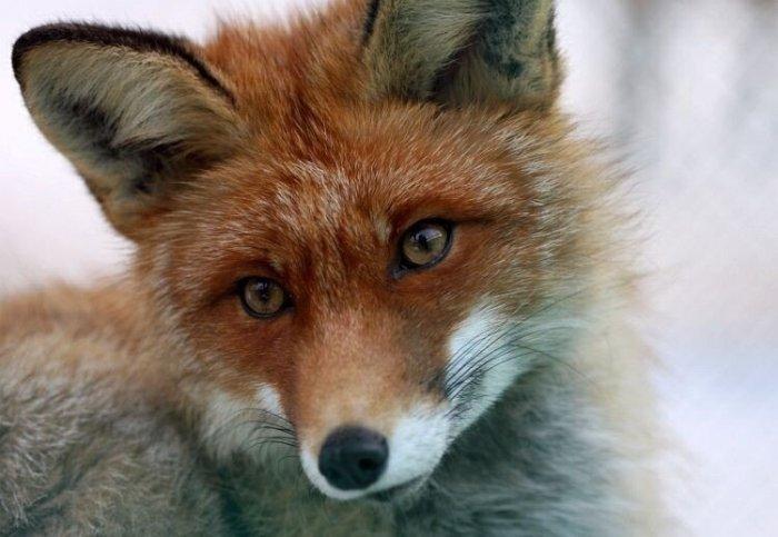 Лисицы. Очень красивые и занимательные (более 100 больших фото)
