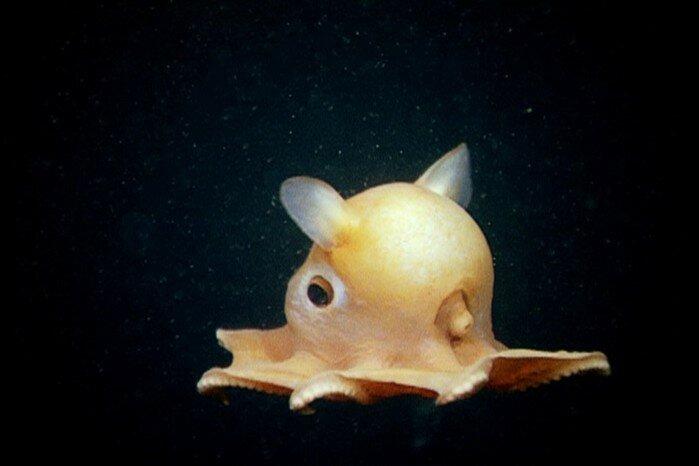 Самые поразительные глубинные осьминоги