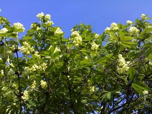 Как приготовить мед из цветков бузины - бузиновый мед