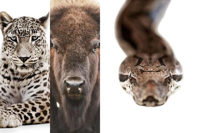 Мортен Колдби: портреты животных на белом фоне