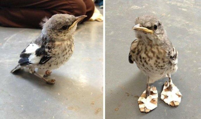 Больной птичке сделали мини снегоступы, чтобы исправить дефект лапок (фото)