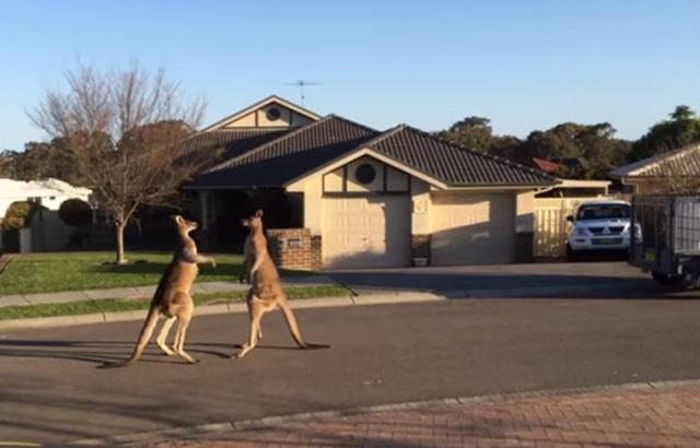 Видео: драка кенгуру на улице Сиднея в Австралии