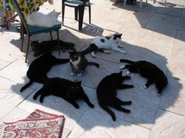 Семейство кошачьих (18 фото)