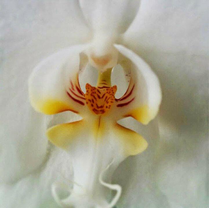 Это не обычная тигровая лилия. Посмотрев внимательно, вы сможете увидеть в центре этой орхидеи морду тигра.