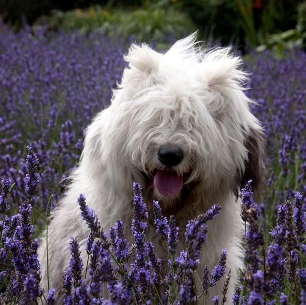 Очаровательные пастушьи собаки из Голландии