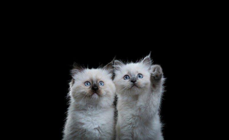Красивые, загадочные и смешные портреты котов, сделанные мастерами