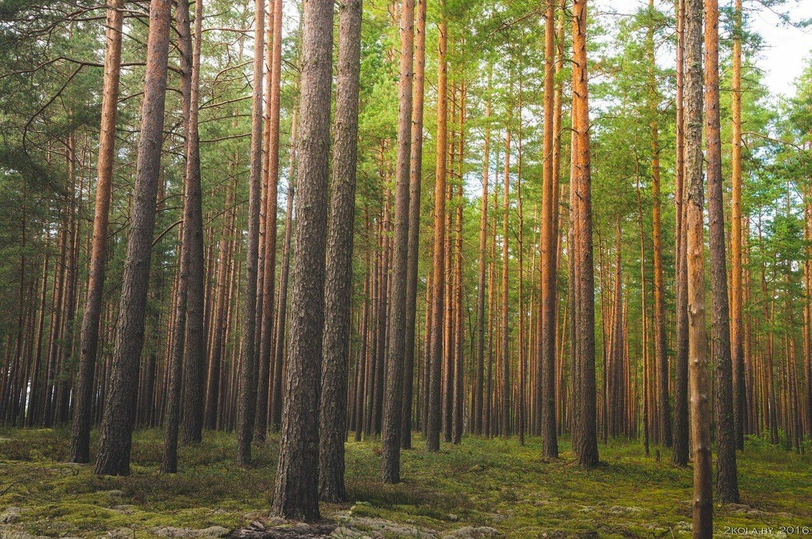 Лес в Красном Бору