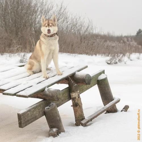 Хаски Сбирский, @chelsea_yuta, Челси Юта, собаки, собака, хаски, зима прогулки по лесу, снежный пес, животные, домашние животные