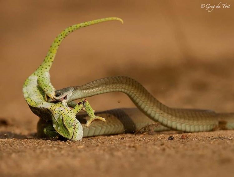 Отличные пугающие фотографии змей разных авторов