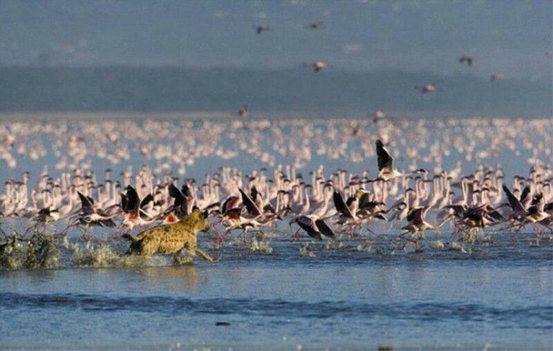 Как гиена охотится на фламинго в дикой природе Африки