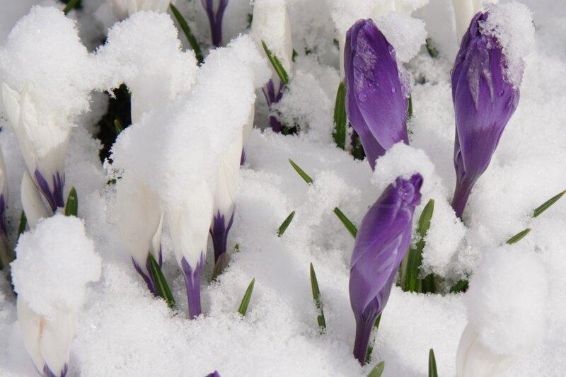 Крокусы под снегом