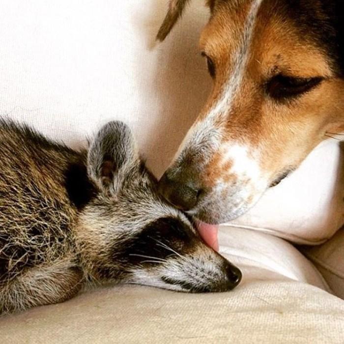 Фотографии енотихи, которая думает, что она собака