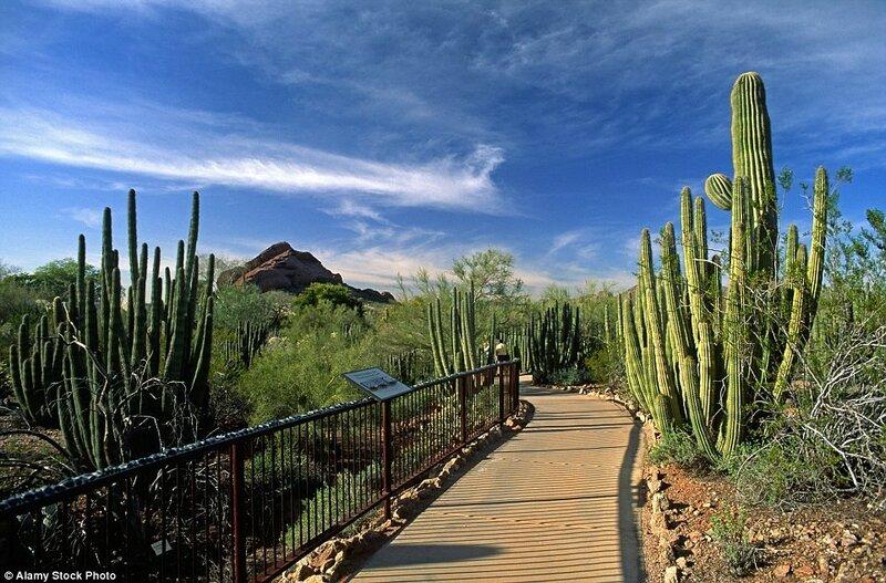 Ботанический сад в пустыне в штате Аризона, США. На площади 140 акров в Ботаническом саду в пустыне в штате Аризона произрастают около 50 тысяч растений.