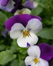 анютины глазки цветок засушить