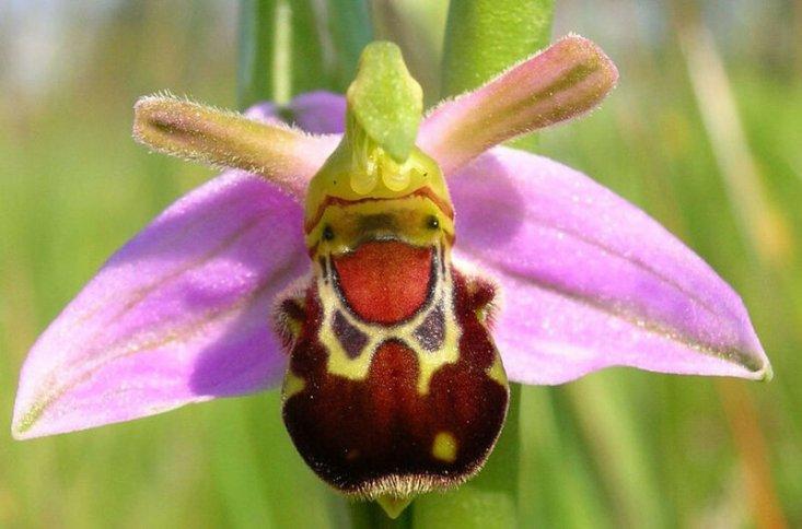 «Хохочущий шмель» (орхидея)
