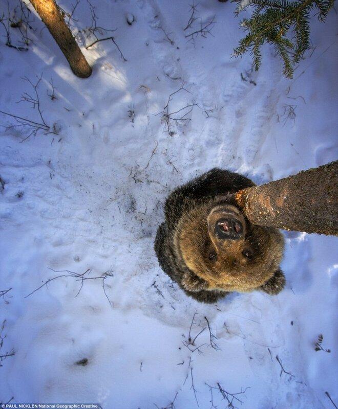 Гризли в территориальном парке Fishing Branch, территория Юкон, Канада.