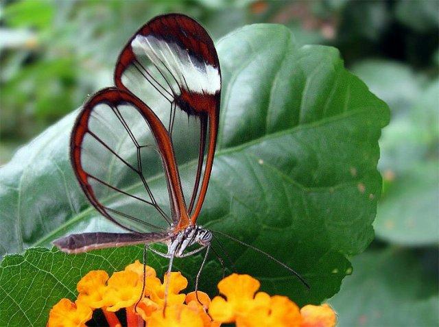 Грета Ото, или Стеклянная бабочка