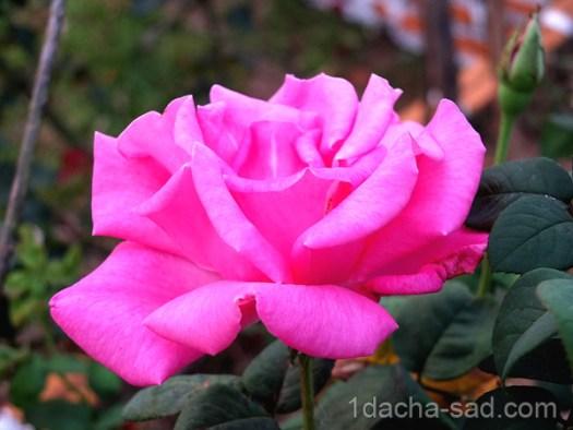 Красивые ароматные сорта роз