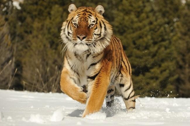 Как хабаровский охотник вышел живым после схватки с тигром