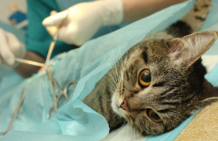 Кастрация котов: подготовка, проведение и послеоперационный уход
