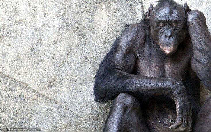 Ученые смогли расшифровать язык шимпанзе